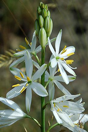 bělozářka liliovitá– PR Podhoří