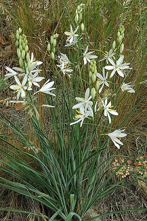 bělozářka liliovitá– PP Jabloňka