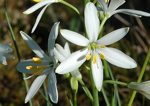 bělozářka liliovitá– PP Bohnické údolí