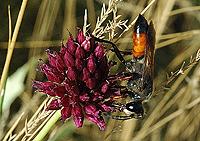 česnek kulatohlavý